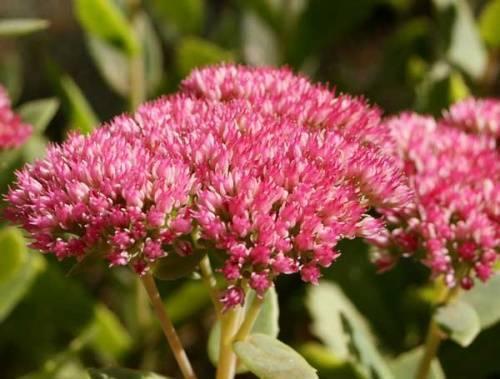 Очиток — сорта и виды, уход за комнатным растением в домашних условиях