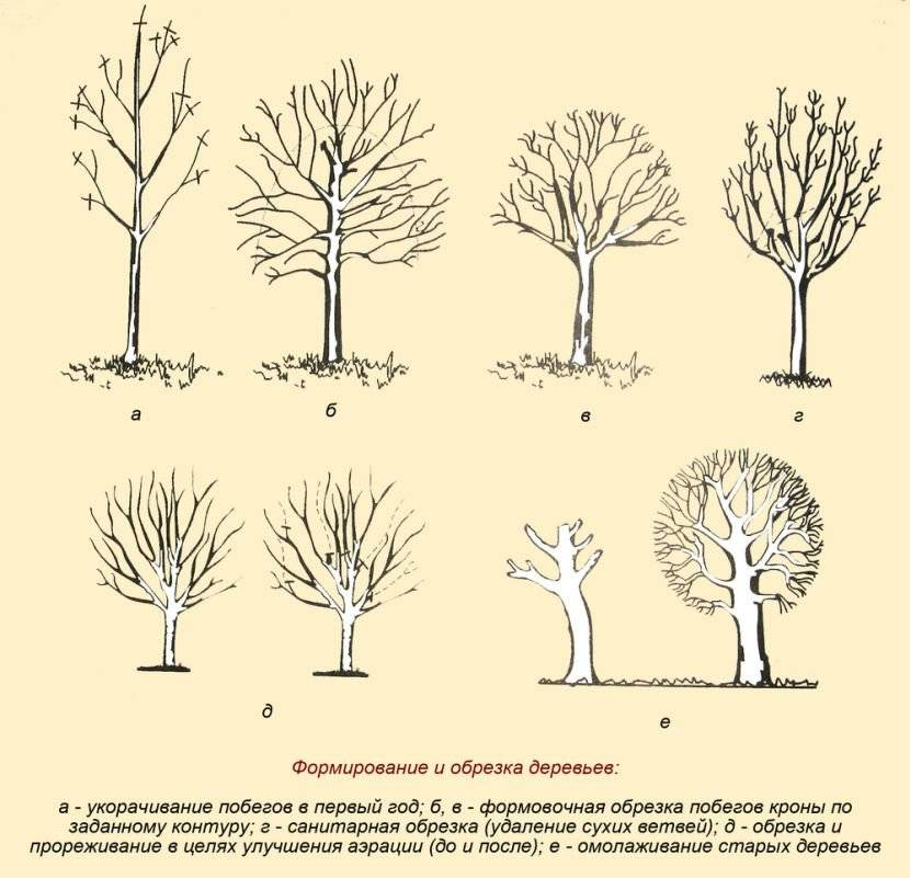 Обрезка абрикоса весной для начинающих: схемы и пошаговые инструкции