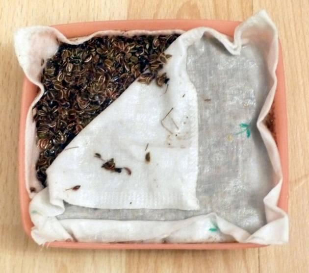 Подготовка семян моркови к посадке в открытый грунт: весной, замачивание, на бумаге - мы дачники