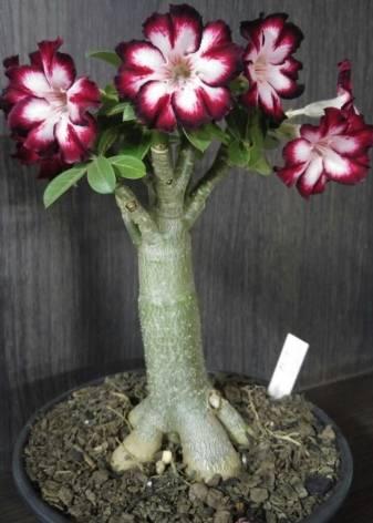 Выращивание адениума обесум: как посадить, ухаживать, удобрять, размножать