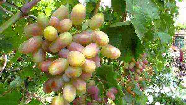 Выращивание винограда сорта виктор