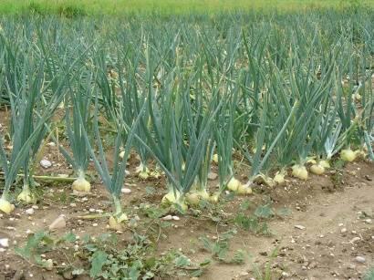 Лук купидо — описание характеристик. посадка, уход и выращивание репчатого сорта f1 из семян и севка (фото)