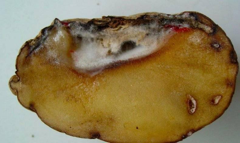 Почему гниёт картофель при хранении, и как этого избежать? болезни картофеля. меры защиты. фото — ботаничка.ru