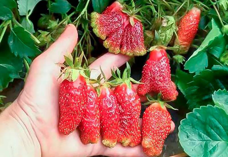 Реально ли увеличить урожайность клубники в открытом грунте и как это сделать?