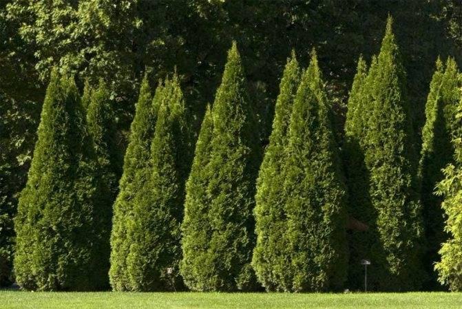 Хвойные растения для сада: фото и названия