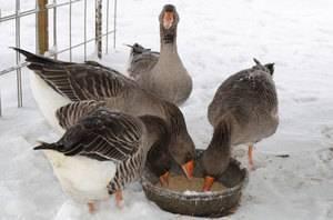 Чем кормить гусей в домашних условиях: комбикорм, трава