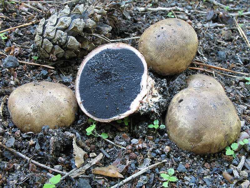 Ложнодождевик обыкновенный — википедия. что такое ложнодождевик обыкновенный