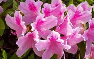 Размножение азалии черенками в домашних условиях: как правильно посадить комнатный рододендрон, укоренить в воде и почве и вырастить вечнозеленые и листопадные видыдача эксперт
