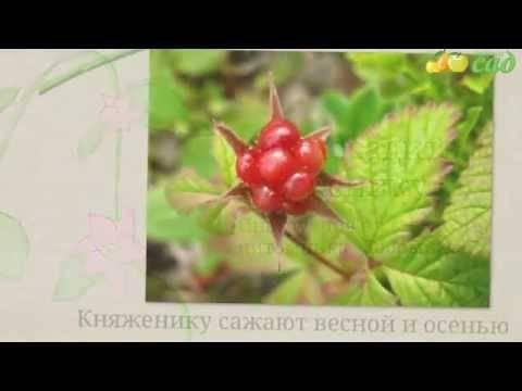 Княженика ягода: фото и описание