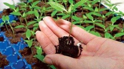 Через сколько дней после посева всходят семена огурцов