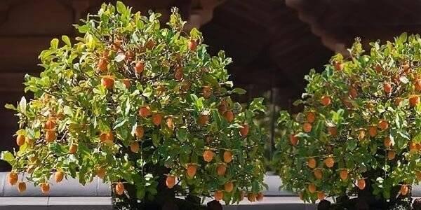 Нюансы выращивания хурмы из косточки в домашних условиях, технология посадки и правила ухода