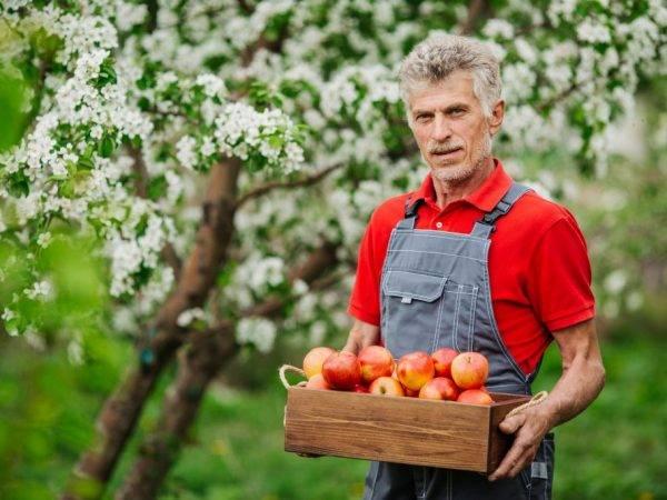 Характеристика яблони сахарный аркад: описание, фото
