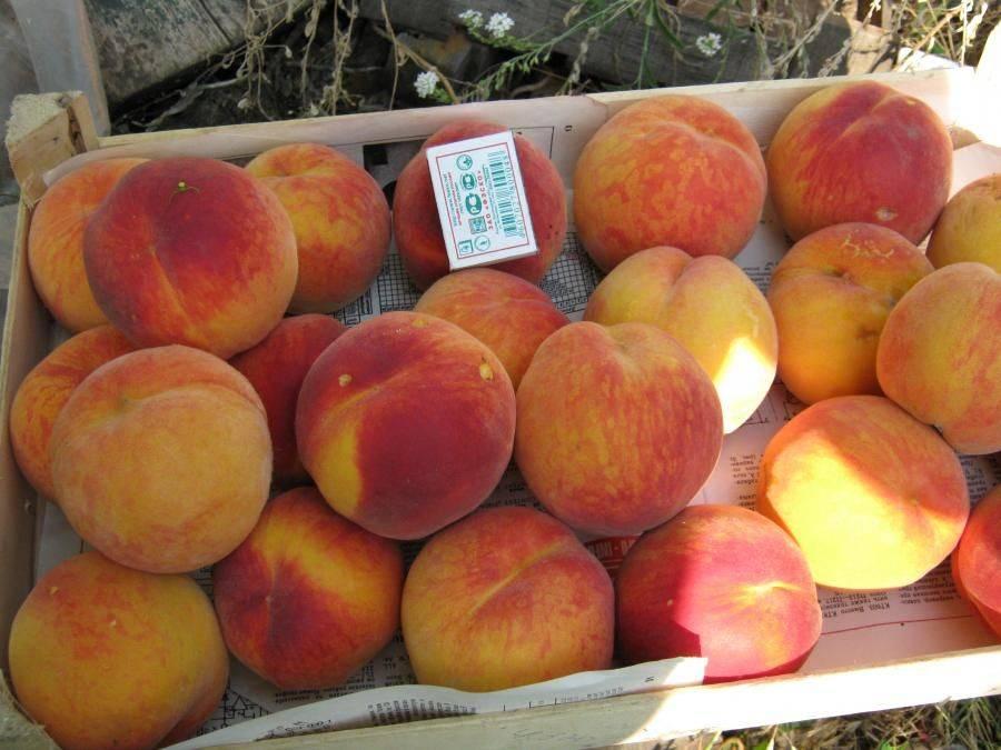 Персик редхейвен: отзывы, фото, описание сорта, посадка и уход, выращивание, урожайность, морозоустойчивость
