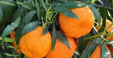 Горький апельсин (дикий, померанец): дерево семейства рутовых горький апельсин (дикий, померанец): дерево семейства рутовых