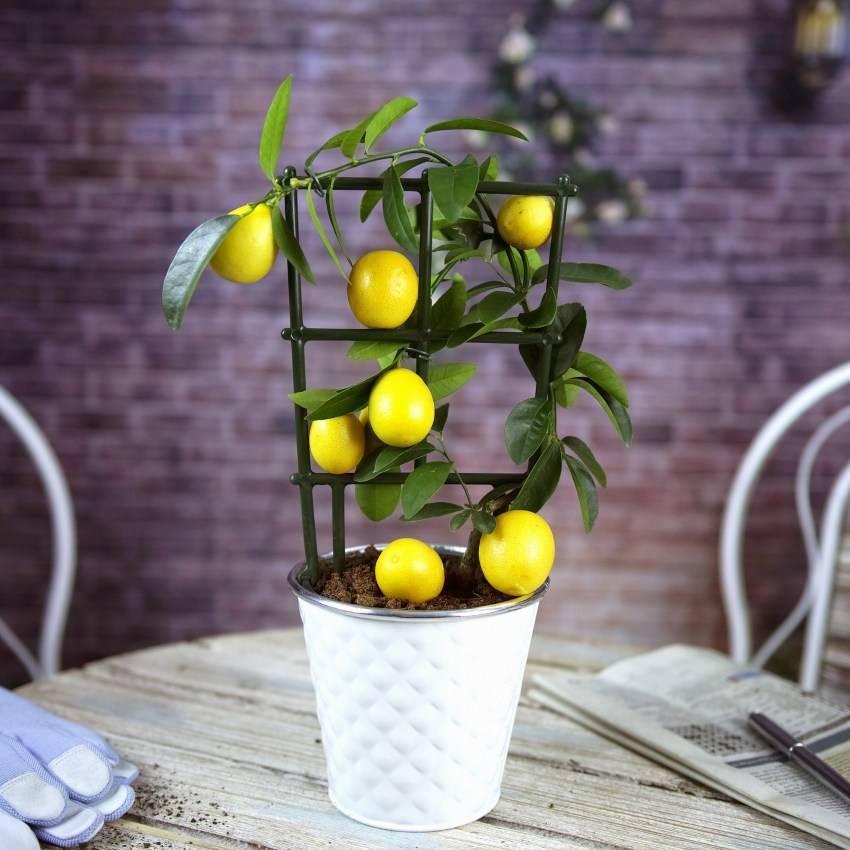 Лимон новогрузинский: описание сорта, правила ухода в домашних условиях