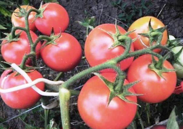 Томат видимо-невидимо: описание сорта, фото, отзывы огородников со стажем и секреты получения богатого урожая