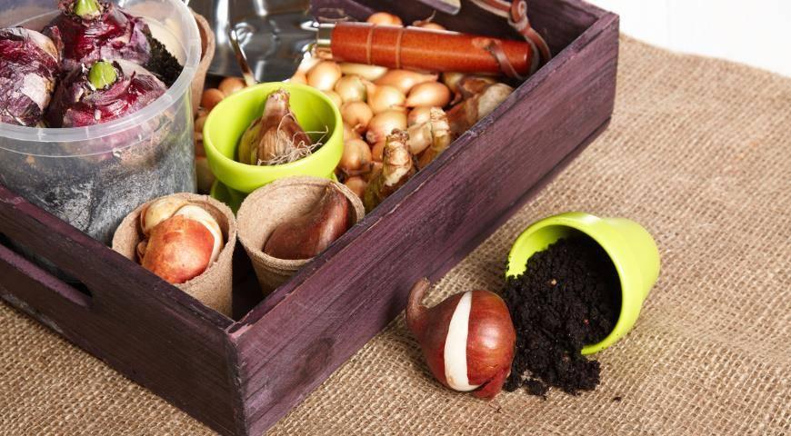 Хранение луковиц лилий в домашних условиях