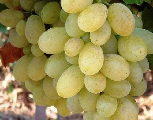 ᐉ юнкер - сорт винограда - roza-zanoza.ru