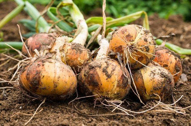 Выращивание озимого чеснока: уход в открытом грунте