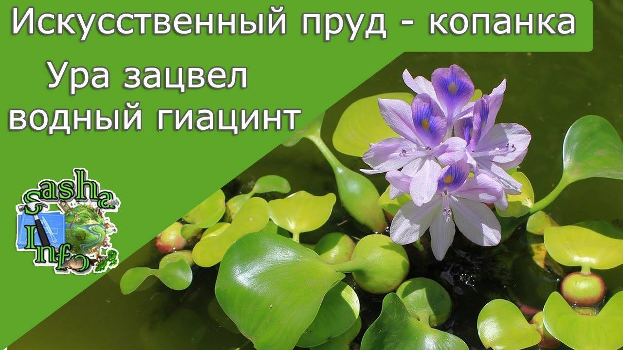 Эйхорния (водяной гиацинт): посадка и уход, фото