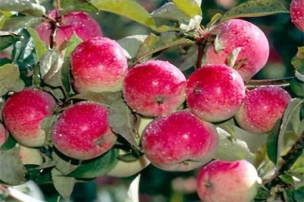 Яблоня солнцедар описание сорта фото отзывы