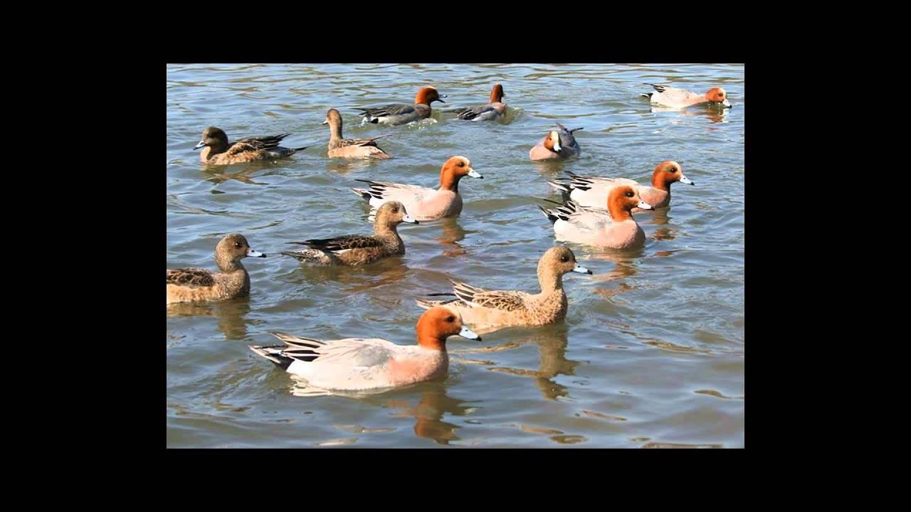 Описание особенностей и повадок птицы лысухи