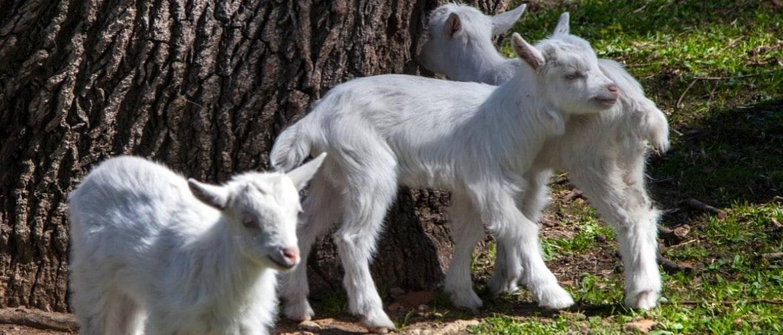 У козы понос: причины, лечение и профилактика диареи