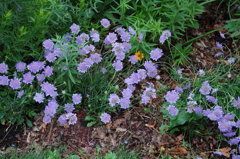 Цветок «скабиоза»: фото, выращивание из семян, посадка и уход. скабиоза: сорта, посадка и уход в открытом грунте
