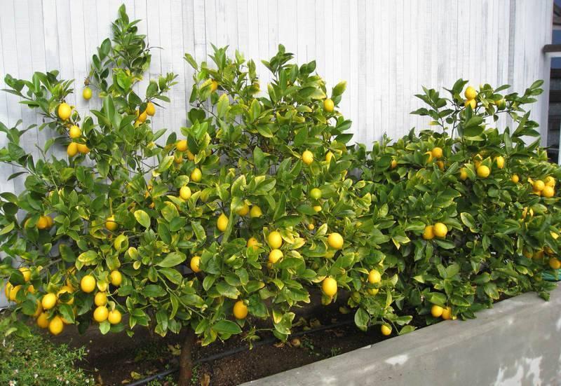 Описание лимона сорта лунарио и особенности ухода в домашних условиях