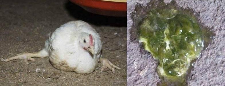 Понос у цыплят-бройлеров — обзор причин и лечение
