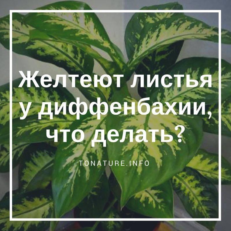 Определяем и устраняем причины пожелтения и засыхания листьев диффенбахии