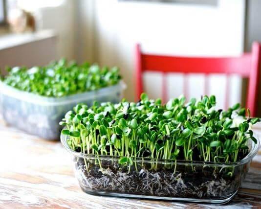 Пошаговое руководство, как вырастить брокколи в домашних условиях правильно