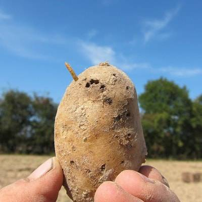 Нематода картофеля стеблевая | справочник пестициды.ru