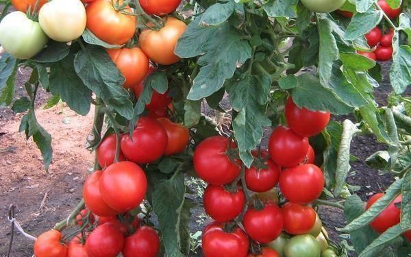 Сорт томатов Самара — характеристика и особенности выращивания