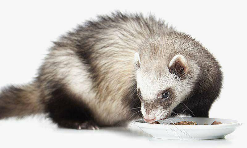 Чем питаются и что едят домашние хорьки, рацион и запрещенные продукты