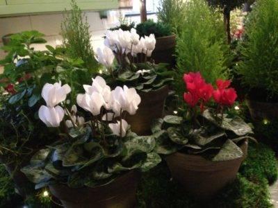 Как вырастить цикламен в саду?