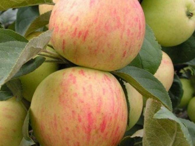 Сорт яблок июльское черненко описание, фото, отзывы