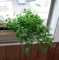 Как вырастить мяту дома на подоконнике: советы по посадке и уходу