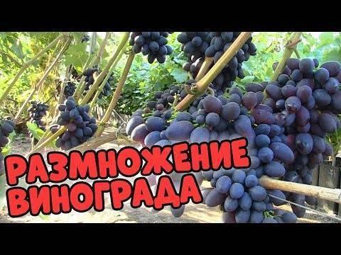 Кинельский виноград: его разновидности и уход