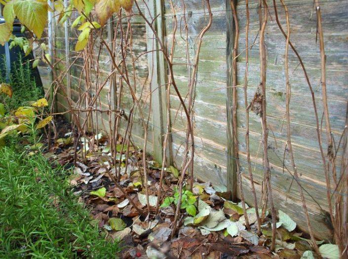 Как ухаживать за малиной осенью, чтобы был хороший урожай?