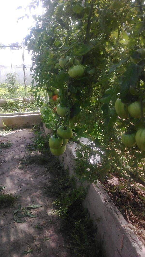 Почему не завязываются помидоры в теплице: томаты цветут а завязи нет