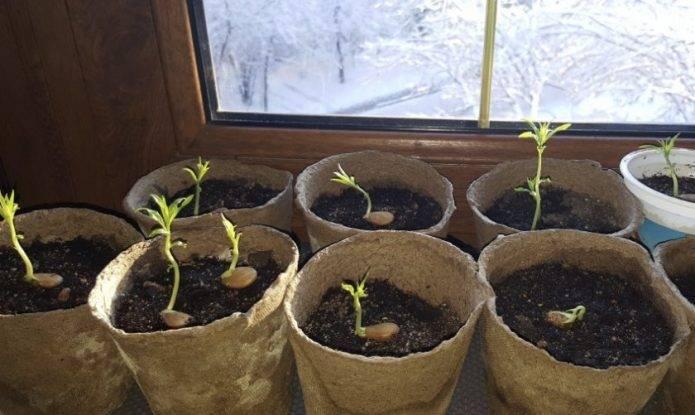 Как вырастить персик из косточки – посадка и уход, правила пересадки саженца