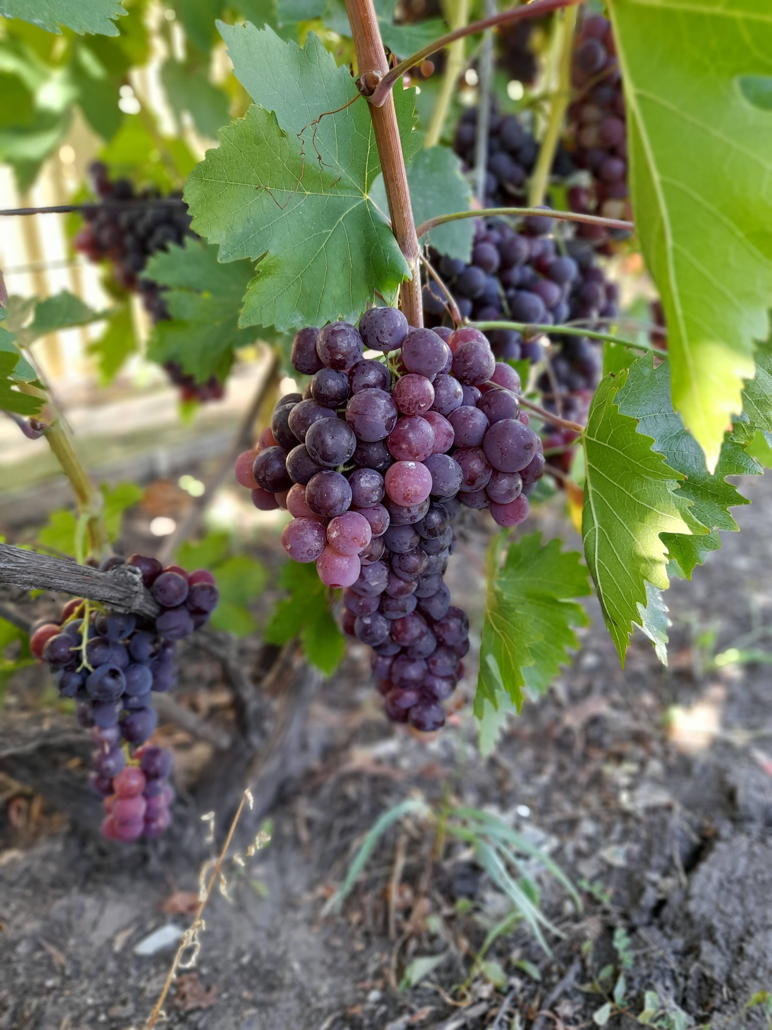 Виноград ванюша: описание сорта, фото, отзывы