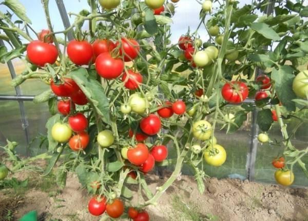 Томат благовест f1 – характеристика и описание сорта, фото, выращивание, отзывы тех, кто сажал