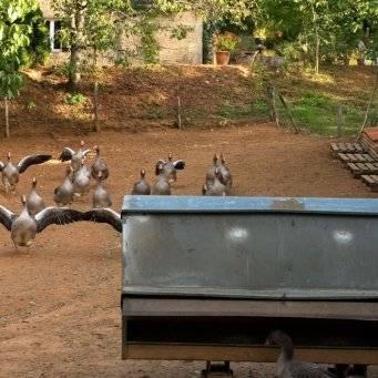 Как самостоятельно сделать поилки для гусей