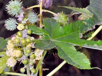 Клещевина обыкновенная: фото, выращивание из семян, уход в открытом грунте