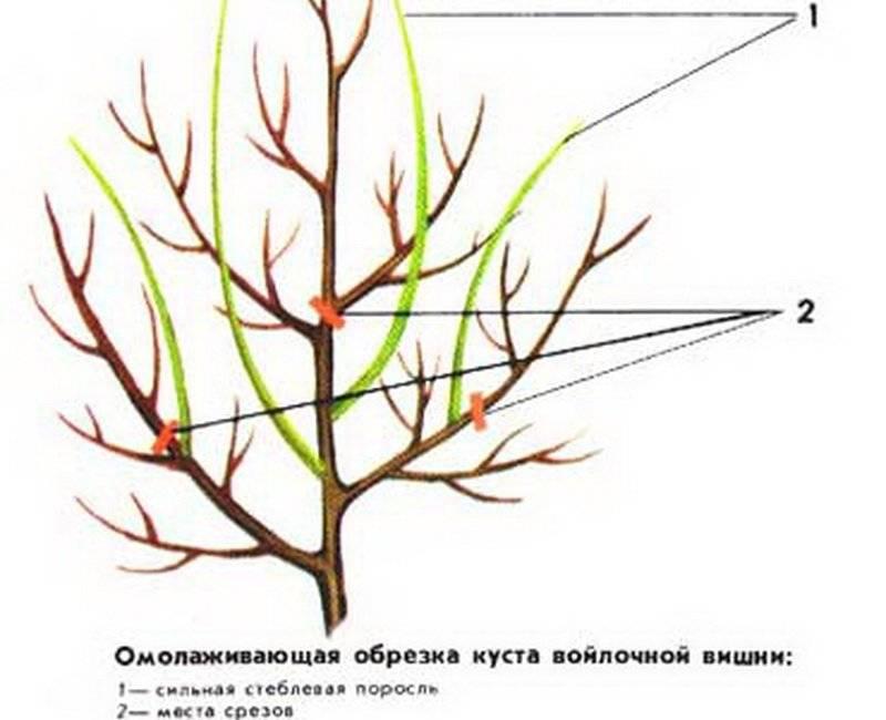 Обрезка вишни осенью для начинающих в картинках пошагово. инструкция 2020 года, инструменты, обрезка при омоложении, сроки