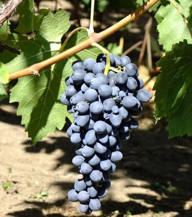Виноград аттика: описание сорта, отзывы, фото и видео