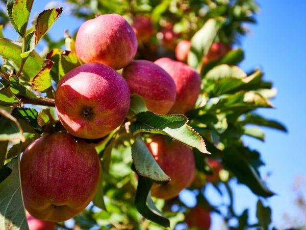 Лучшие зимние сорта яблони, в том числе для различных регионов, с описанием, характеристикой и отзывами