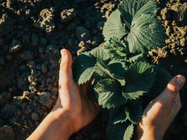 Как сажать клубнику в открытый грунт и теплицу: пошаговая инструкция